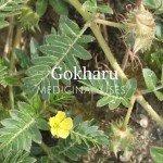 gokhru