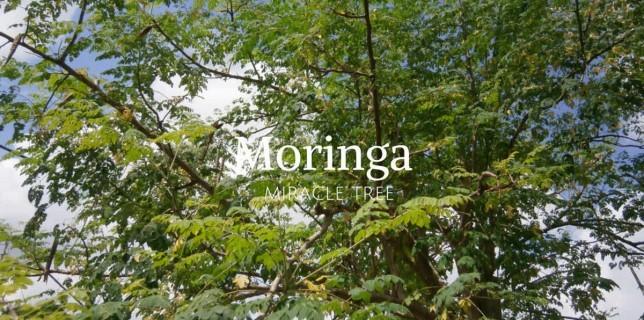 सहजन की पत्तियों(Moringa Leaves) के पाउडर के लाभ