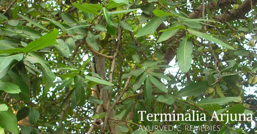 Arjun tree medicinal uses