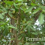 Arjun tree medicinal uses