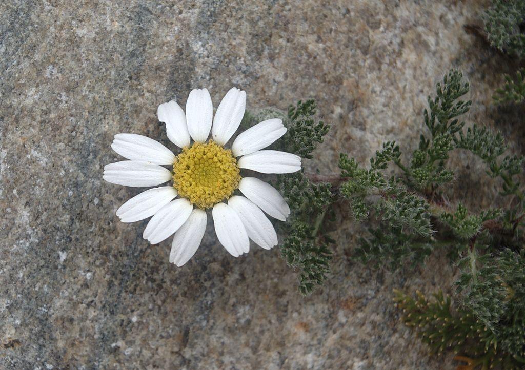 akarkara medicinal uses