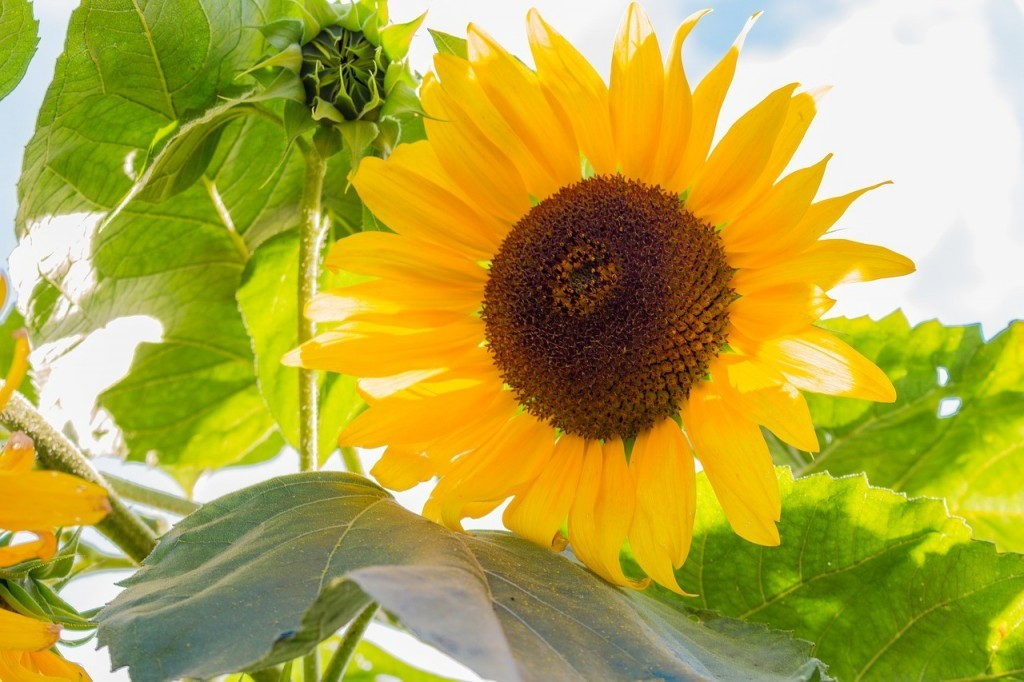 sunflower medicinal uses