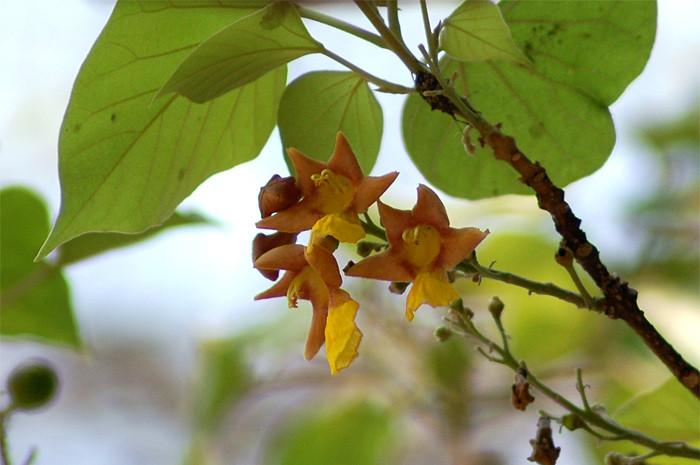 gambhari medicinal uses