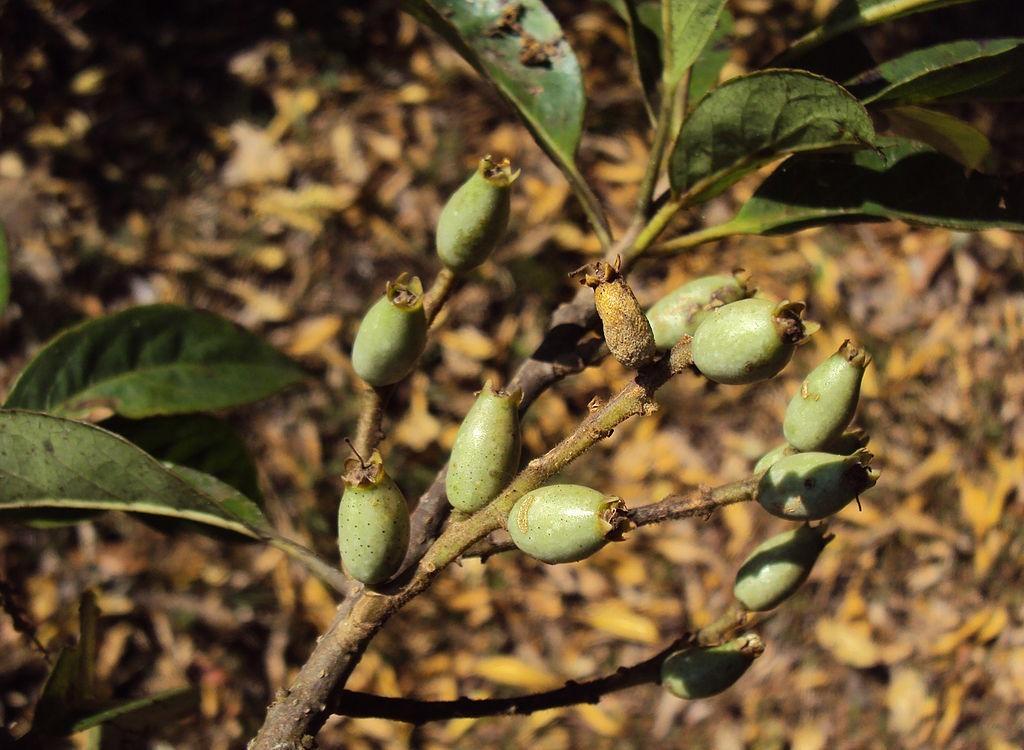 lodhara medicinal uses