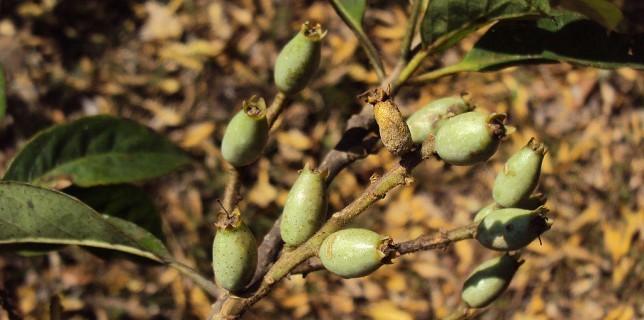 जानिए लोध के बारे में Lodhra Medicinal Tree in Hindi