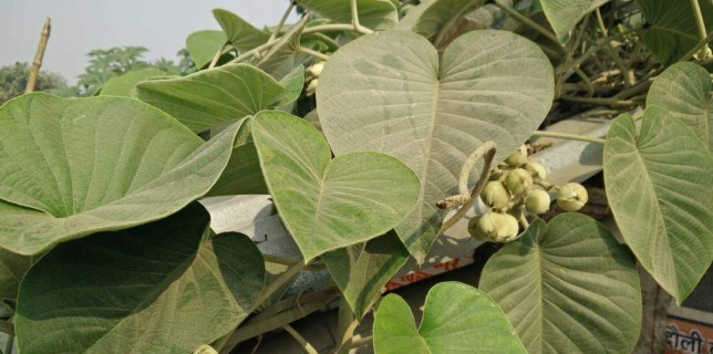 Vidhara medicinal uses