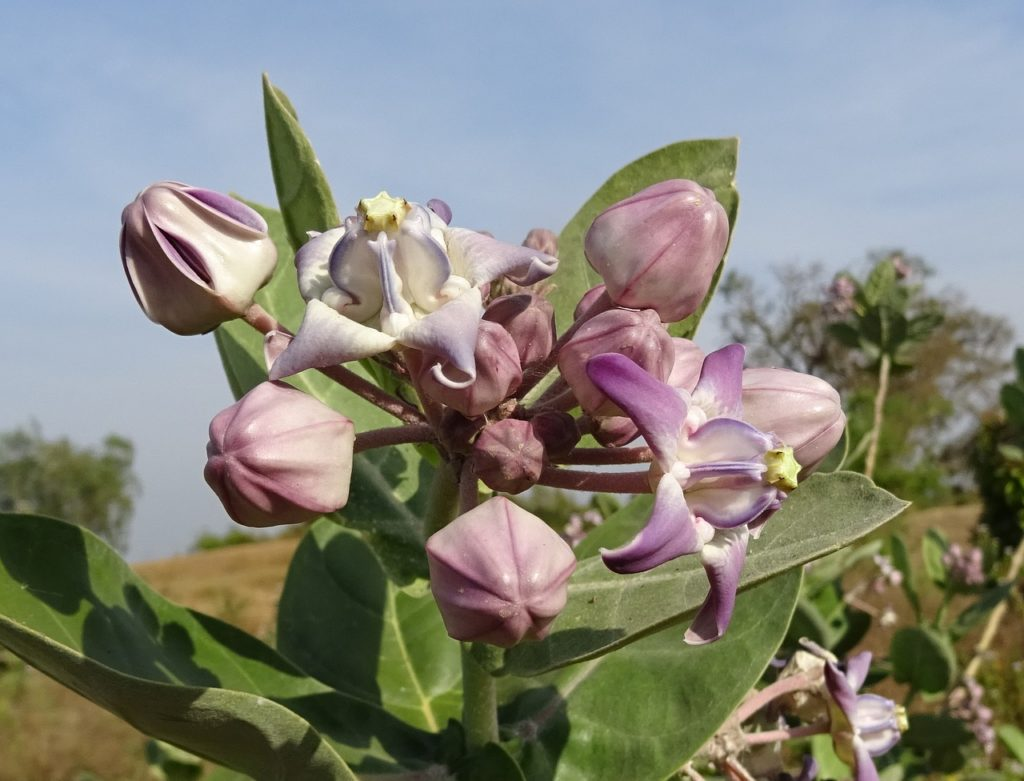 madar plant
