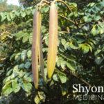 shyonak tree