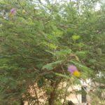 shami tree